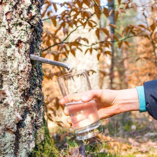 Sok z brzozy – jak pozyskać i pić? Właściwości soku z brzozy